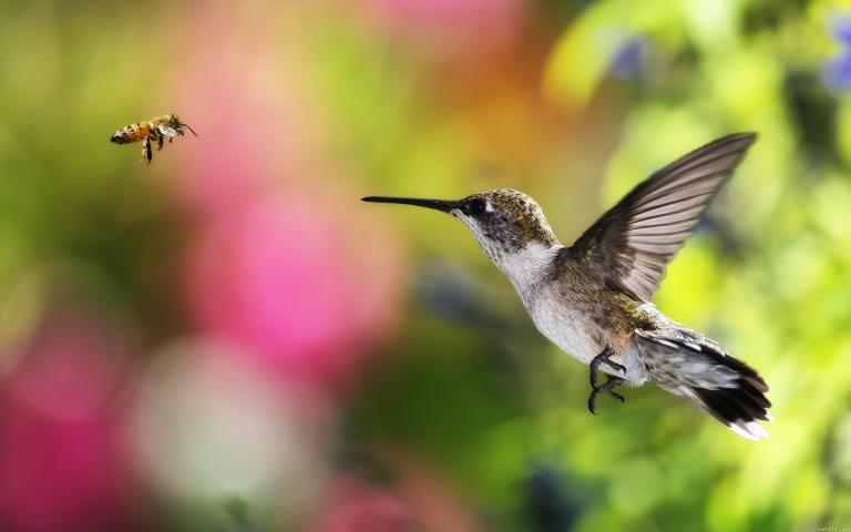 christ-hummingbird-bee-fly-hd-702022
